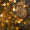 Kaf Laat de Leeuwin niet in haar hempie staan